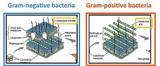 Lipoteichoic acid - Gram-positive and -negative cell walls