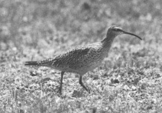 Eskimo curlew - One of four known photographs of a living Eskimo curlew, taken by Don Bleitz on Galveston Island in 1962