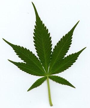 Cannabis indica - Image: Indica leaf