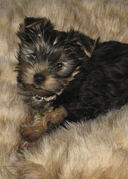 An AKC-registered Yorkshire Terrier puppy, aged 4 months, displaying the characteristic black and tan coat.