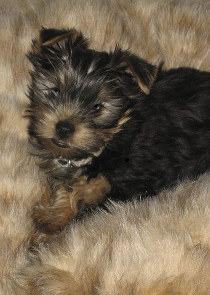 Best Small Hypoallergenic Dogs For Kids
