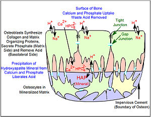 Osteoblast - Major features of the bone-forming complex, the osteon, composed of oseoblasts and osteocytes.