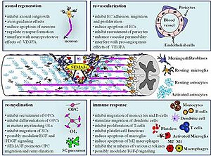 Semaphorin - Class III semaphorins regulate multiple processes after spinal cord injury by influencing neuronal and non-neuronal cells. Copyright © 2014 Mecollari, Nieuwenhuis and Verhaagen. A perspective on the role of class III semaphorin signaling in central nervous system trauma. 1–17. doi: 10.3389/fncel.2014.00328