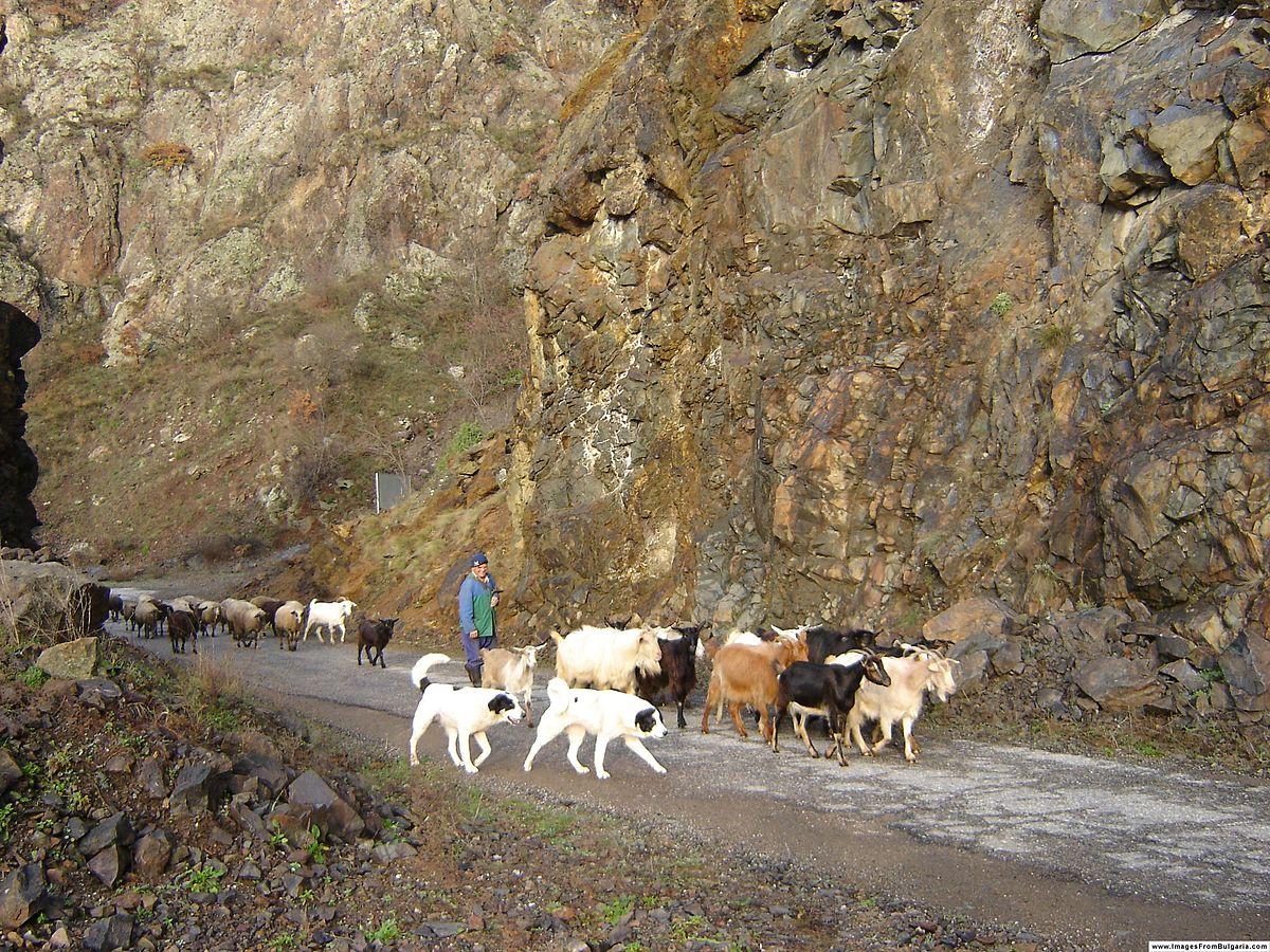 Karakachan dogs at Kovanka Protected Site.JPG