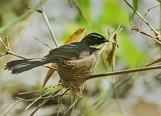 White-throated fantail - Adult at nest from Nalbari, Assam, India