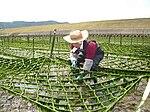 Seaweed-farmer.JPG
