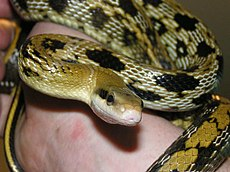 Beauty rat snake - Wikipedia, the free encyclopedia
