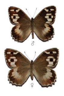 <i>Chazara persephone</i> species of insect