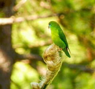 Philippine hanging parrot species of bird