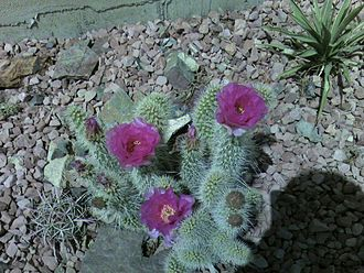 Xeriscaping - Cacti are one of the low-water-consuming plants used in Xeriscaping.