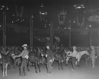 National Western Stock Show - Quarter Horses at the National Western Stock Show, Circa 1950