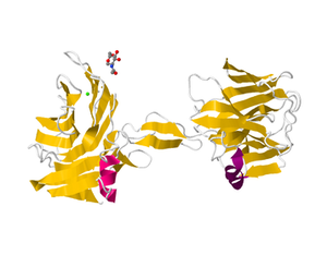 Neurexin - 3D ribbon diagram of alpha-neurexin 1