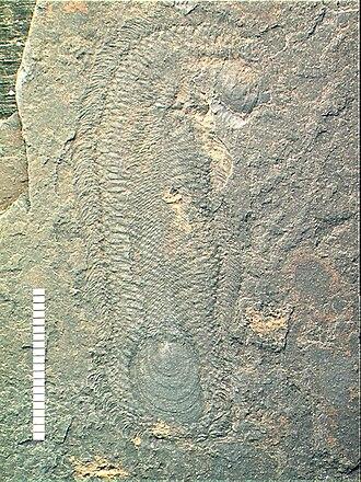 Halwaxiida - Halkieria sp.