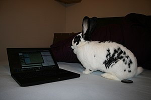 Image of Dotty a 7 month Giant Rabbit