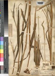 <i>Rottboellia cochinchinensis</i>