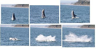 Gray whale - Gray whale breaching off the coast of Santa Barbara, California