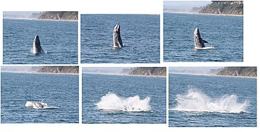 Gray Whale breaching off the coast of Santa Barbara, CA.