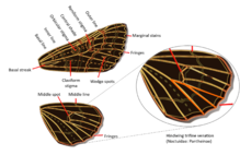 Noctuidae wings venation