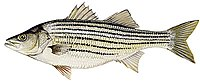 2.jpg Striped Bass