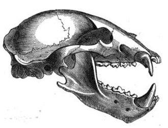 Sun bear - Sun bear skull
