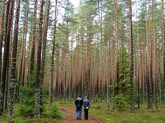 Komarovo, Saint Petersburg - Scots Pine forest in Komarovo