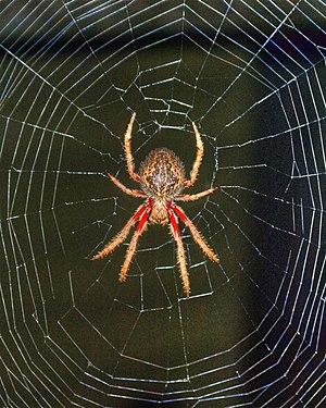 Australian garden orb weaver spider - Image: Eriophora transmarina