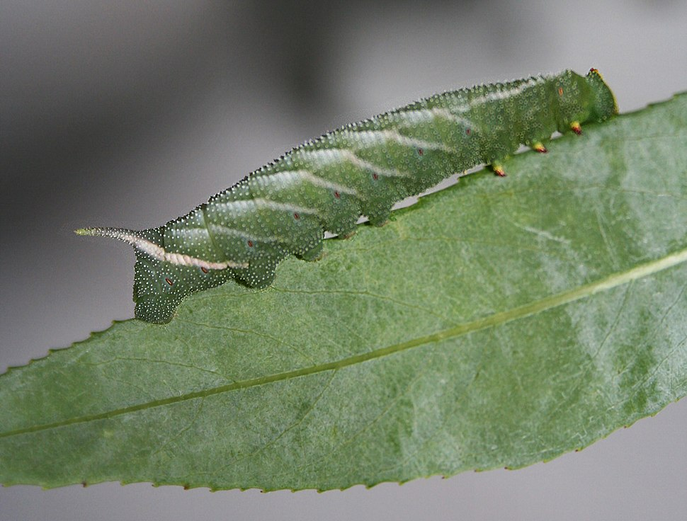 Eyed hawkmoth larvae reverse countershaded