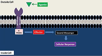 Lipid signaling - Cartoon of second messenger systems. Figure adapted From Barbraham Institute Mike Berridge. http://www.babraham.ac.uk/emeritus/berridge.html (accessed Jan. 21, 2008).