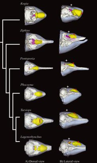 Melon (cetacean) - 3D models of various odontocete melons based on CT scans. © Wiley.
