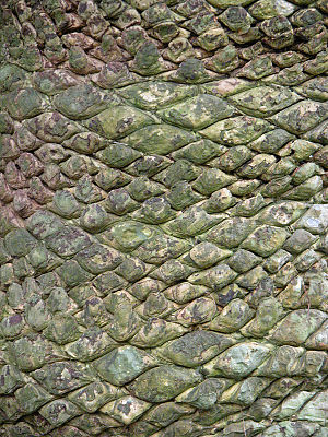 Cycas - Bark of Cycas rumphii