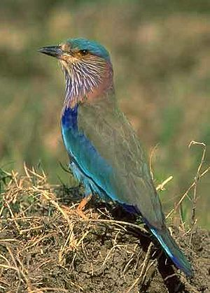 Wildlife of Karnataka - Indian roller, (Coracias benghalensis), the state bird