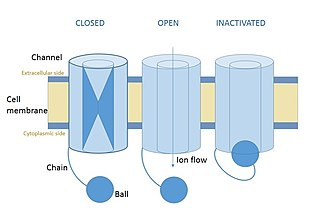 Ball and chain inactivation - Diagram of a voltage-gated ion channel, showing the three states: closed, open, and inactivated. Ball and chain inactivation can only happen if the channel is open.