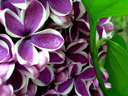 Lombard Lilac Festival Craft Show
