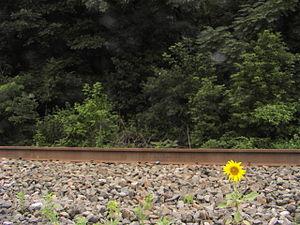 SunflowerJuly057