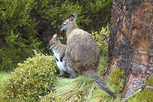 Wallaby - Mother wallaby with joey in the Tasmanian summer rain
