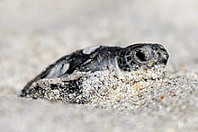 Hatchling Green Sea Turtle in the sand photographed by USFWS Southeast