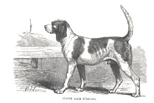Artois Hound - Engraving of the original D'Artois Hound. Note that it closely resembles version of today.