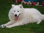 A Samoyed Dog in a garden with a toy