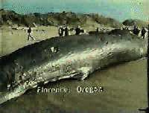 Exploding whale - The dynamiting of this whale carcass did not go as planned.