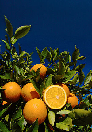 Institute of Food and Agricultural Sciences - Florida oranges