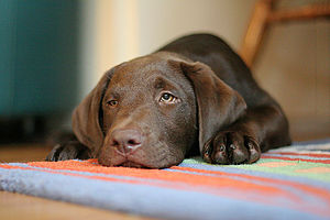 Labrador retriever, chocolate