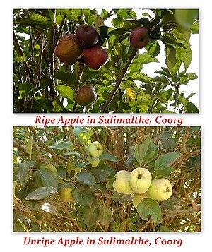 Somwarpet - Coorg Apples in Sulimalthe village, Somwarpet