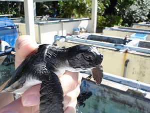 Chichijima - A baby sea turtle at the restoration facility