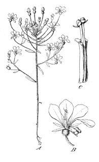 <i>Levenhookia stipitata</i> species of plant