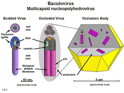 Diagram of a Nucleopolyhedrovirus