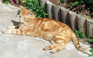 An orange male classic tabby cat.