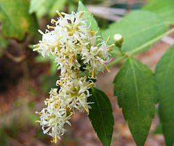 http://upload.wikimedia.org/wikipedia/en/thumb/c/c2/Calea_ternifolia.JPG/250px-Calea_ternifolia.JPG