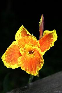 Canna Roma cultivar of plant