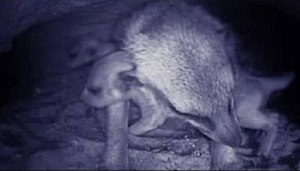 Meerkat Manor - The use of underground cameras allows the crew to capture never before seen footage of a meerkat mother and her pups deep in their burrow.