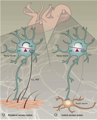 Programmed cell death - Cell death in the peripheral vs central nervous system